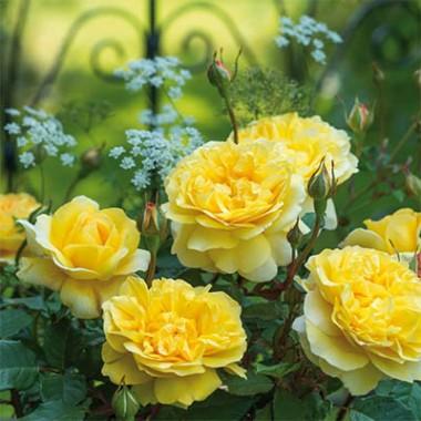 Троянда The Poet's Wife фото цена