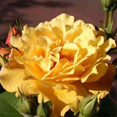 Троянда Postillion описание