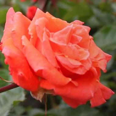 Троянда Prinsesse Marie купить онлайн