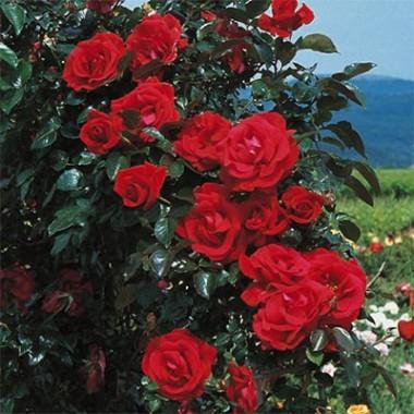 Троянда Red Flame купить онлайн