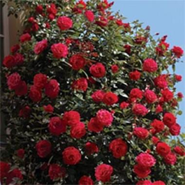 Троянди Нірп