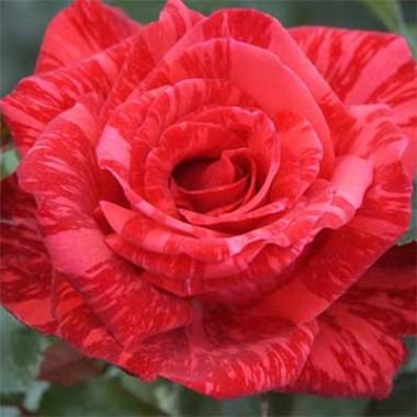 Троянда Red Intuition почтой