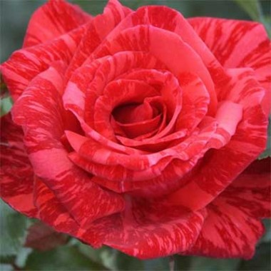 Троянда Red Intuition интернет-магазин
