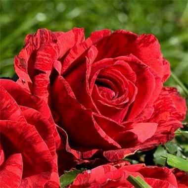 Троянди Делбар