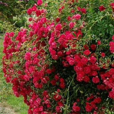 Троянда Rote The Fairy купить онлайн