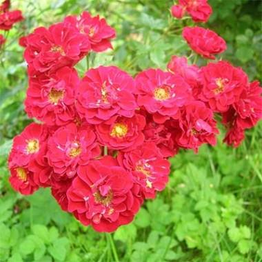 Троянда Rote The Fairy почтой