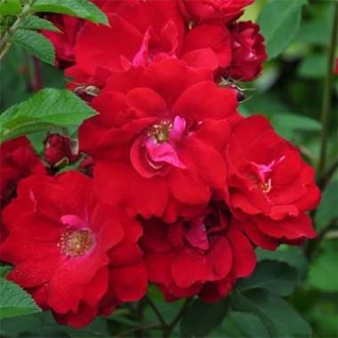 Троянда Rote The Fairy описание