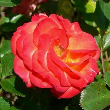 Троянда Rumba смотреть