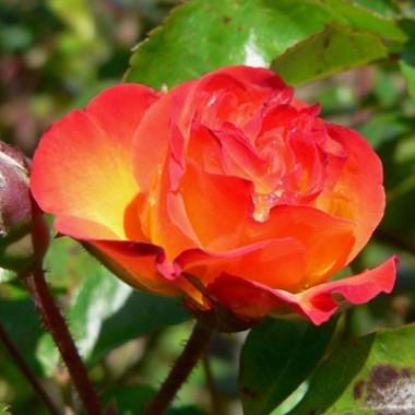 Троянда Rumba фото