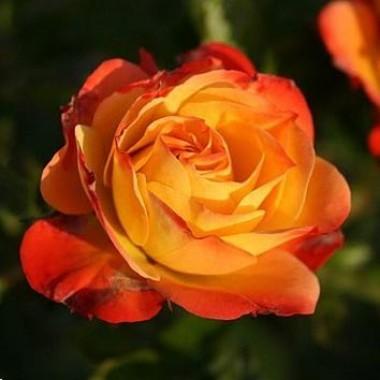 Троянда Rumba описание