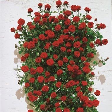 Троянда Santana купить онлайн