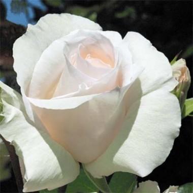 Троянда Schneewalzer интернет-магазин