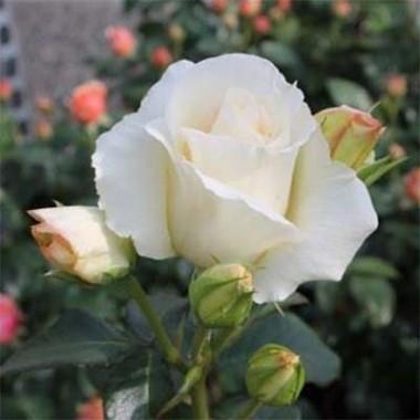 Троянда Schneewalzer описание