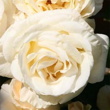 Троянда Schneewalzer смотреть