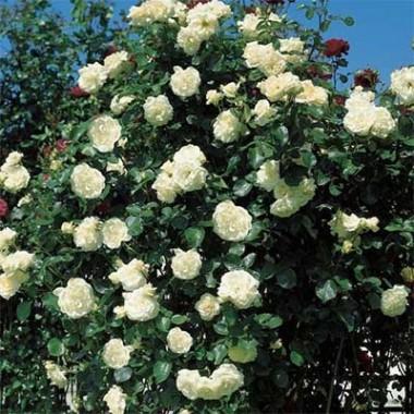 Троянда Schneewalzer фото цена