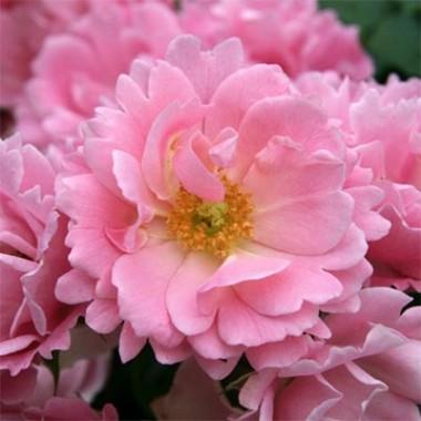 Троянда Sommerwind в киеве