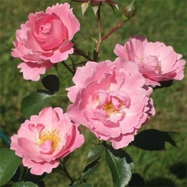 Троянда Sommerwind описание