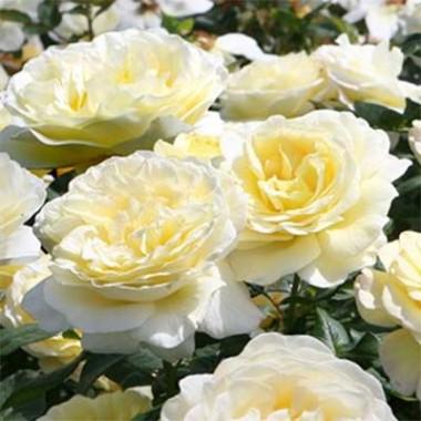 Троянда Stockholm описание