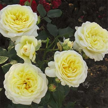 Троянда Stockholm купить онлайн