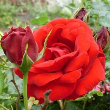 Троянда Sympathy в киеве