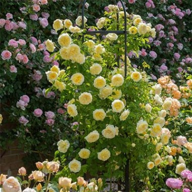 Троянда The Pilgrim (плетиста) фото