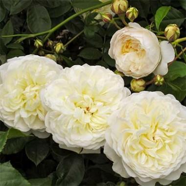 Троянда Tranquillity в киеве