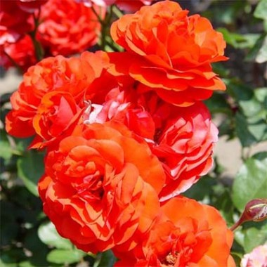 Троянда Trumpeter купить онлайн