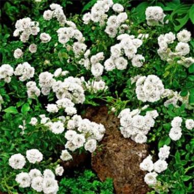 Троянда White Fairy фото цена