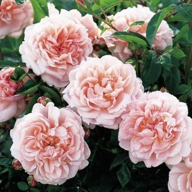 Троянда Wildeve фото цена