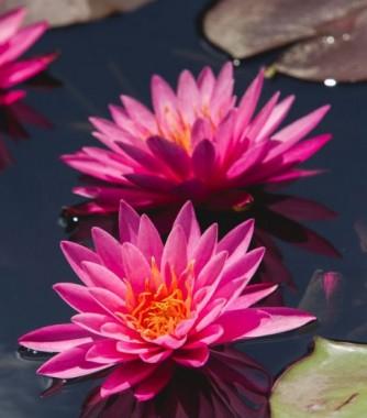 Водяна лілія Rose Arey фото цена