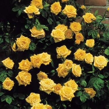 Троянда плетиста Golden Showers фото цена