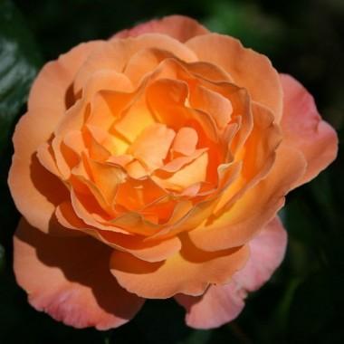 Троянда Rosemary Harkness в киеве