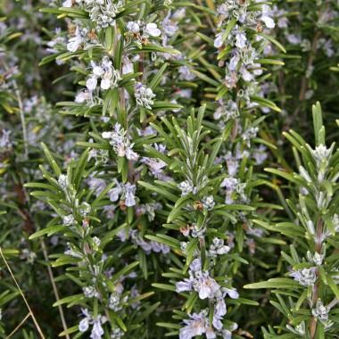 Розмарин Officinalis описание