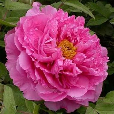 Півонія Pink Water-lily Rou Fu Rong деревовидна интернет-магазин