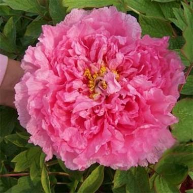 Півонія Pink Water-lily Rou Fu Rong деревовидна смотреть
