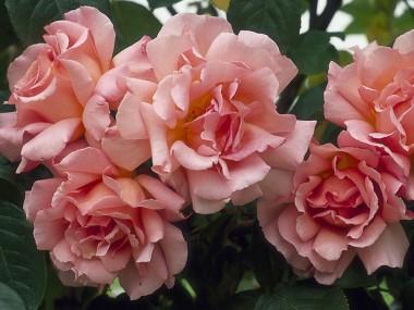 Троянда Compassion интернет-магазин