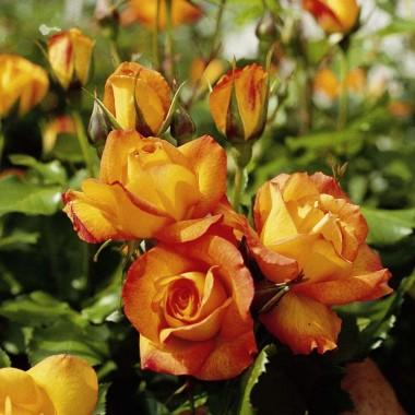 Троянда Sahara фото