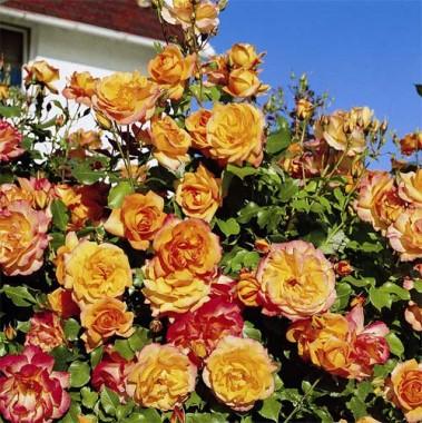 Троянда Sahara фото цена