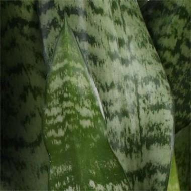 Сансвієрія Zeylanica фото цена