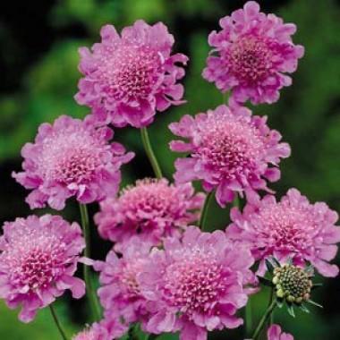 Скабіоза Pink Mist описание