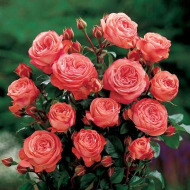 Троянда Schackenborg описание