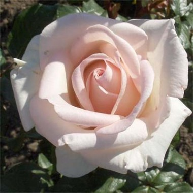 Троянда Schloss Ippenburg описание