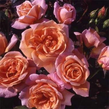 Троянда Schoolgirl почтой