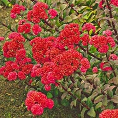 Седум Red Cauli фото
