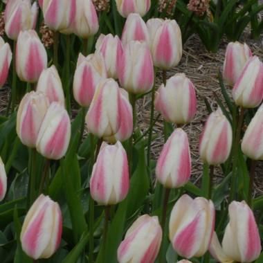 Тюльпан Silk Surprise почтой