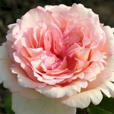 Троянда Souvenir de Baden-Baden интернет-магазин