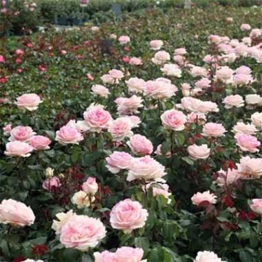Троянди та кущі