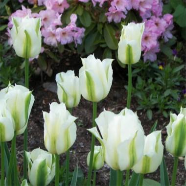 Тюльпан Spring Green интернет-магазин
