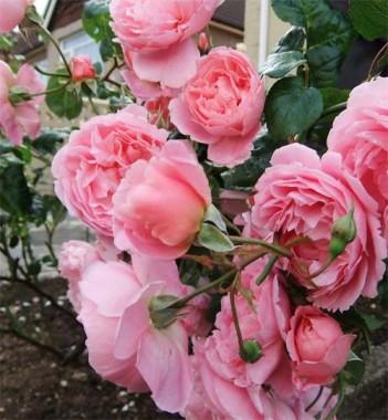 Троянда Strawberry Hill смотреть