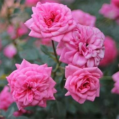 Троянда Sugar Baby смотреть